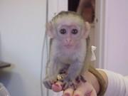 Очаровательны обезьяна капуцин по усыновлению