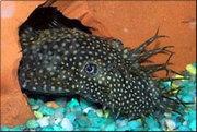 аквариумные рыбки - анцитрусы простые