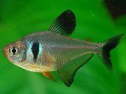 аквариумные рыбки - черный орнатус