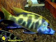 Аквариумные рыбки - золотой леопард