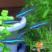 Аквариумные рыбки - неон (голубой,  черный)
