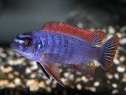 Аквариумные рыбки - тревавас (взрослая пара)