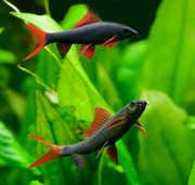 Аквариумные рыбки - Лабео