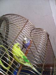продаю 2-х волнистых попугаев с клеткой, кормом