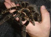 Продаю пауков птицеедов вида Lasiodora parahybana