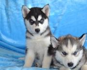 Здоровые,  породистые и очень красивые щенки Хаски