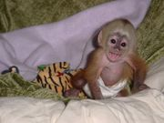 5 месяца обезьян-капуцинов