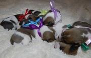 Продаются родословные щенки Джек Рассела